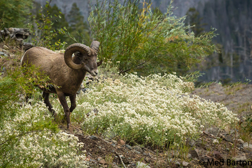 photo of a big horn sheep